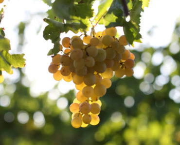 Üzüm – Bağcılık – Şarapçılık